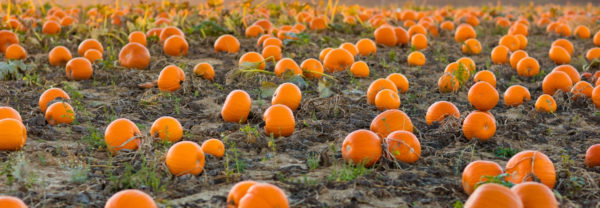 Close up of pumpkin patch